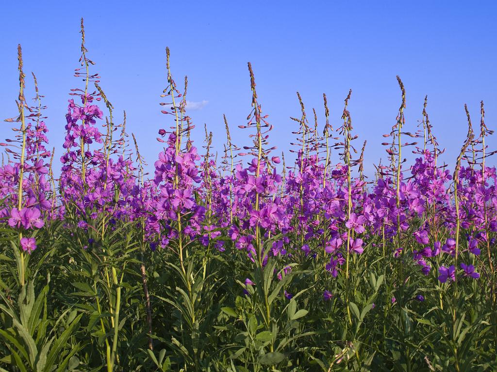 крабовыми картинки цветка кипрей оказались живые организмы